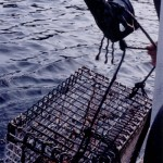 Haulin In The Lobstah Cage